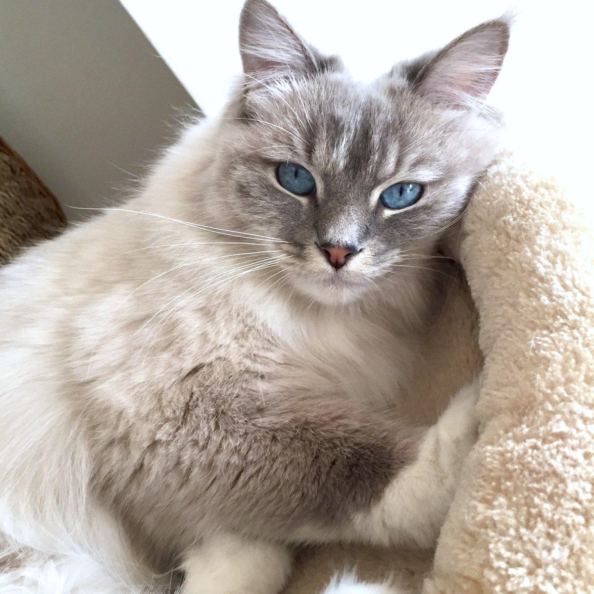 ▫️Hello Monday✨ #mandalatheragdoll   #newweek #MondayMotivation #HappyNewWeek  #cat #cats     #CatsOfTwitter #catsofinstagram #ragdollcat    #ragdoll #kittens #kitten #RagdollCat