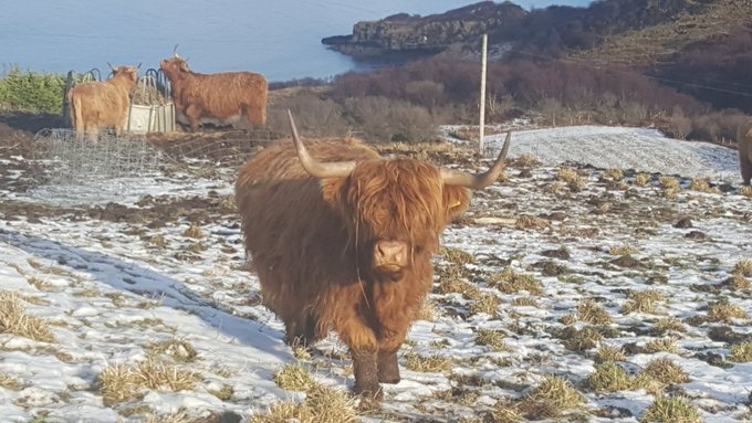 Hey, @BorisJohnson - maybe you could do a walkabout in this field next to us when you come to Scotland this week? (These guys are really Scottish and their wee hornies are purely decorative...)   😄🏴 https://t.co/gEopORNtzG