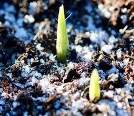 #Winterwatch #MondayMotivation  I'm wrapped up in my winter coat sitting in the sun with a mug of soup. 😊 And the bulbs are beginning to peep.