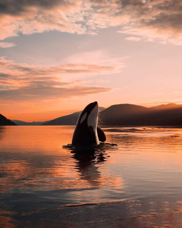 Orca whale leaping out of the water, Norway #nature #naturelovers #wonderful #beautiful #naturephotography #natureperfection #photooftheday #photograpy #beautiful #world #naturelove #cute #sweet #Travel #innocence #animals
