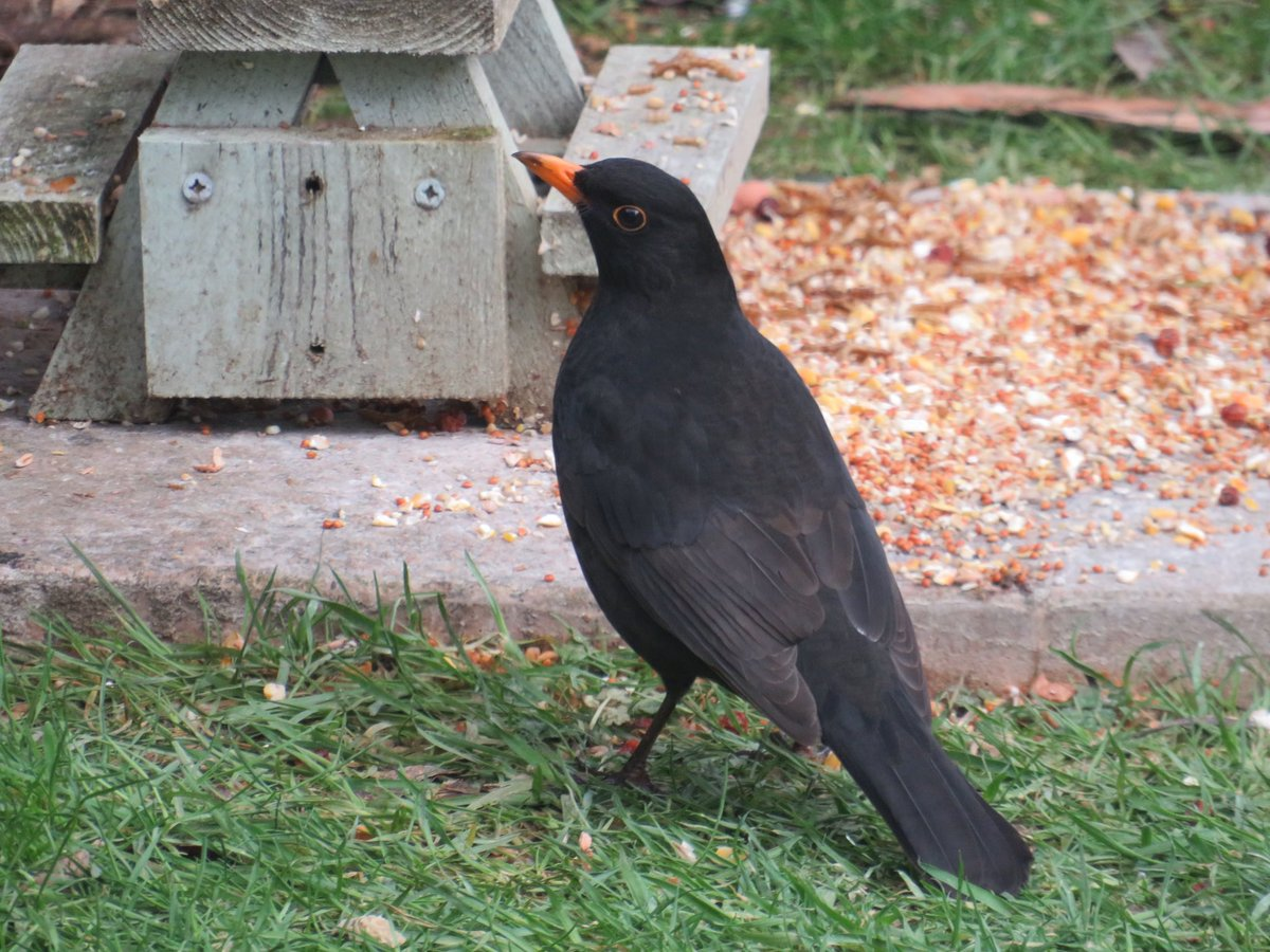 """I know you're watching me"" Blackbird feeding. #Birds #Nature #Cornwall #Winterwatch @BTO_GBW @_BTO @Natures_Voice @CwallWildlife"