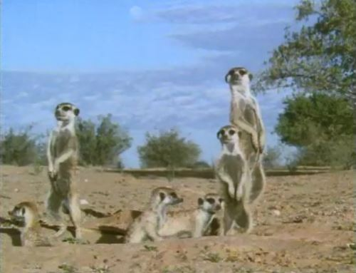 #OnThisDay in 1987, Britain discovered its new favourite cute animal in Wildlife on One's documentary Meerkats United