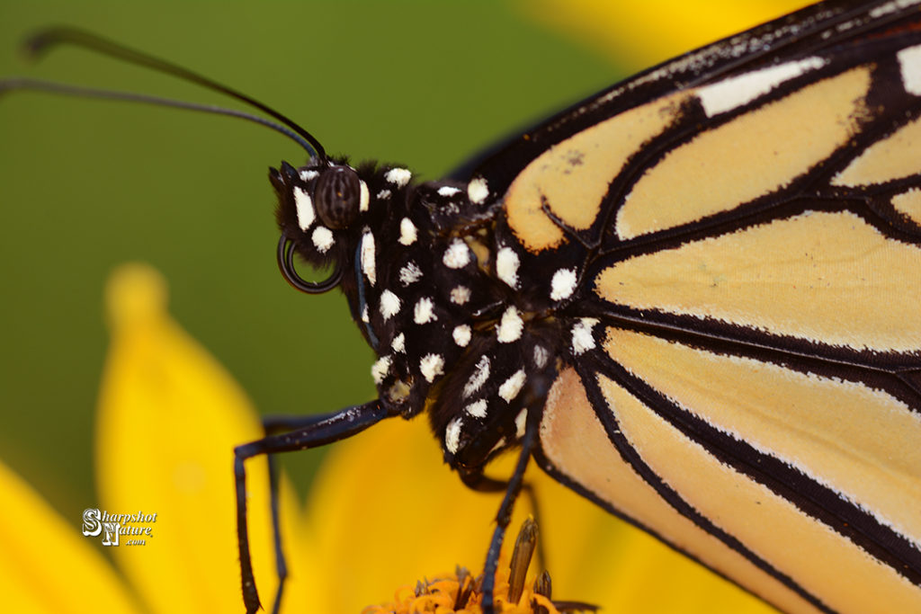 Please like, share, and add a comment! Current post & gallery at the website Home Page  #butterfly #flower #insect #monarch #monarchmonday #nature #naturephotography #photography #plant #sharpshotnature #summer #wildlife #wildlifephotography