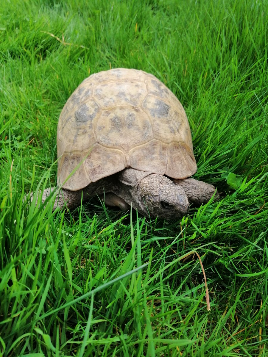 It's me - #brave #explorer #AlbertTheTortoise in the longer #grass. I flatten it more than mow it. But I do a good #job. And I'm brave to go there. Hope your week is #impressive too. - #keepsafe   #tortoise #gardenlife #minidinosaur #hero #childrensbooks #picturebooks #turtle