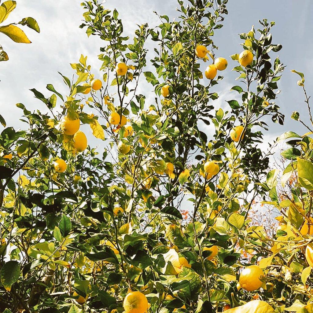 When life gives you lemons ... and oranges... just add vodka!! #lemons #oranges #paphos