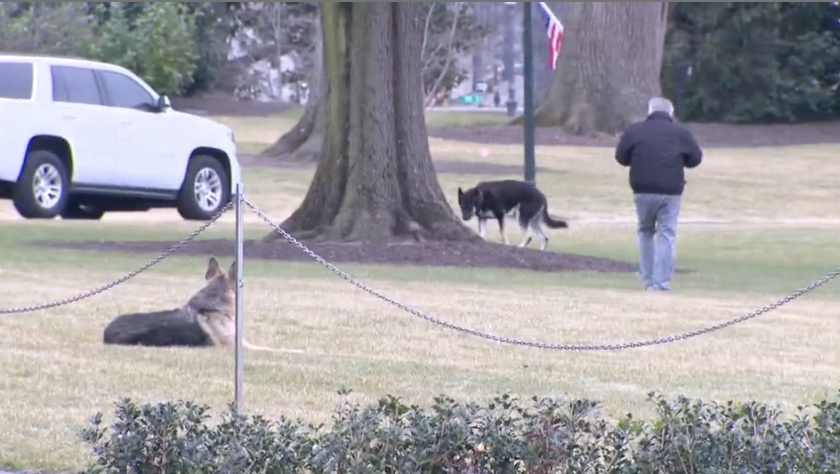 Spotted by pooler @kaitlancollins @petermorrisCNN on the South Lawn -- Champ and Major Biden. The first time dogs of leisure (a term I just made up, as opposed to working dogs) have been seen by reporters at the White House since Bo and Sunny Obama https://t.co/8z2enx1L8n
