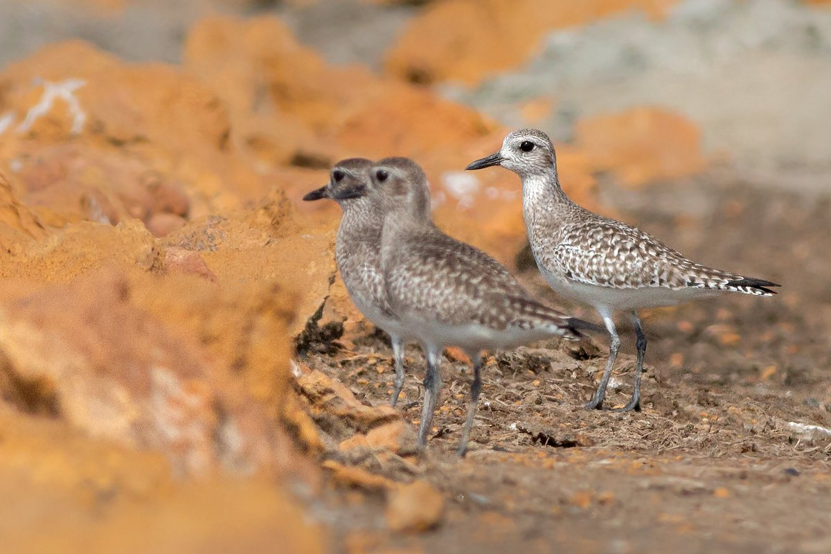 Black-bellied Plover or Gray Plover (Pluvialis squatarola) Feeds on beaches and mudflats by walking or running, stopping and pecking at the surface.Most commonly seen in coastal areas during winter.#BirdsSeenIn2021 #BirdsOfPakistan #BirdsOfSindh #jh #birdwatching #birdphotography