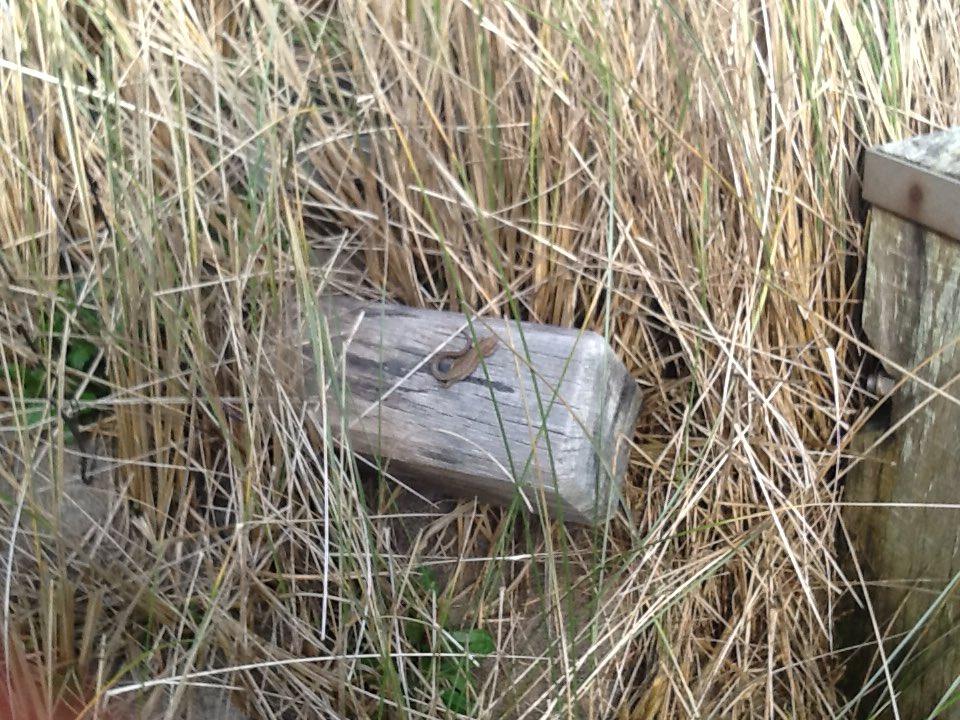#grass Sand lizard 19/3/13