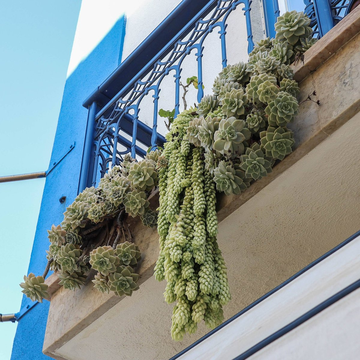 Beautiful succulents dripping from a balcony. (photo from when we could still go for a walk #lockdown #quarantine #goingforawalk #balconygarden #balconyplants #plant #plants #greenthumb #plantlover #houseplantclub #plantslover #succulents #succulent #succulentlove #succulentlife