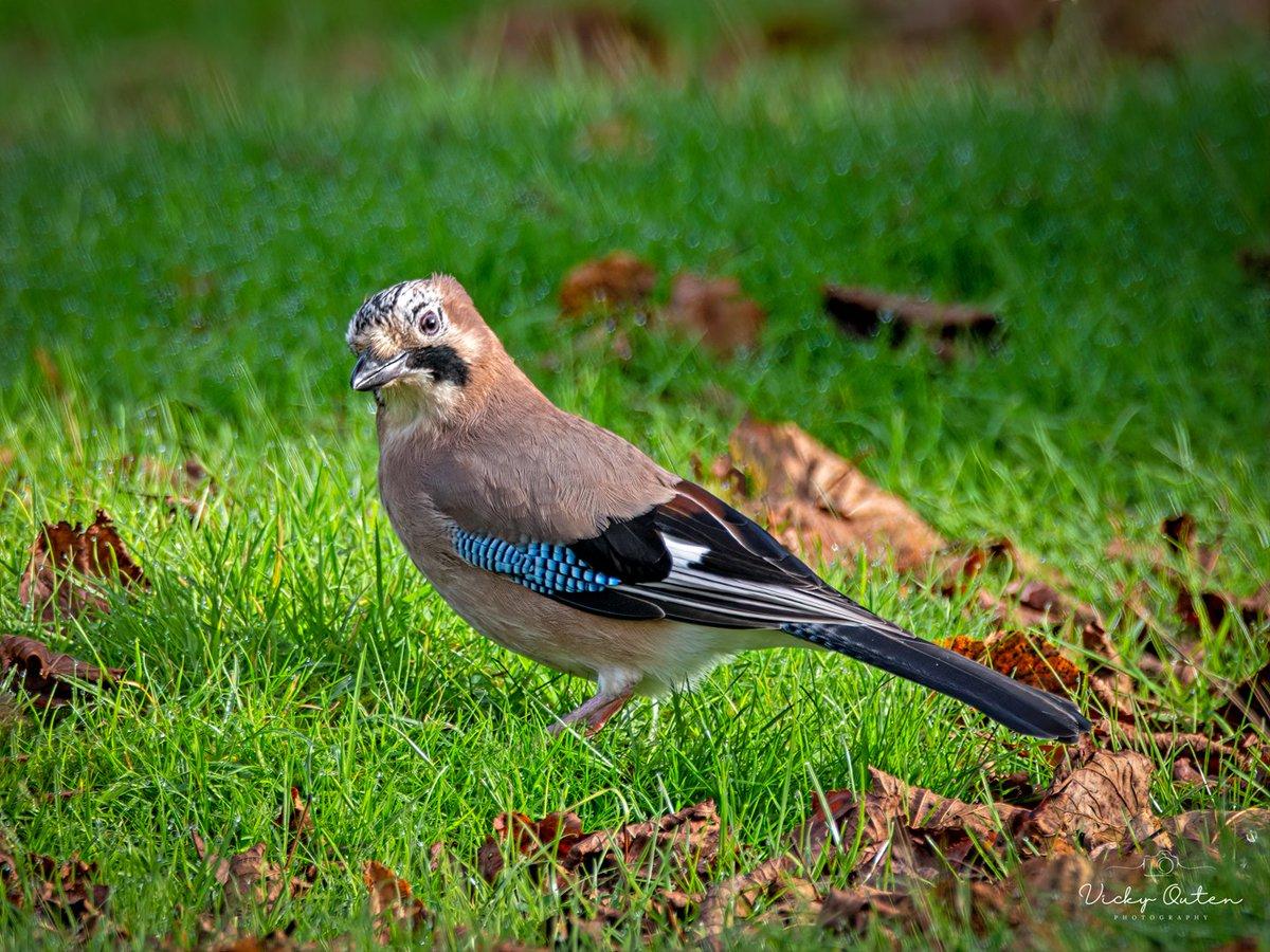 Think this jay spotted me   #jay #wildlife #wildlifephotography #nature #TwitterNatureCommunity #birds #NotAlone #repost
