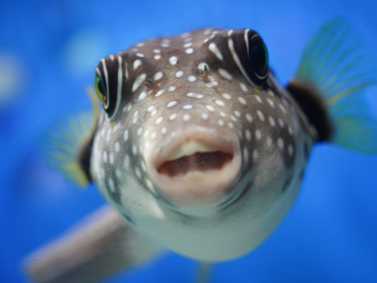 何かのゲームの中ボスみたいだな~。  #α7c #写真好きな人と繋がりたい #カメラ初心者 #写真 #photo #photography #キリトリセカイ #カメラ好きな人と繫がりたい #ファインダー越しの私の世界 #水族館 #カメラのある生活 #フグ #Pufferfish #魚 #カメラ