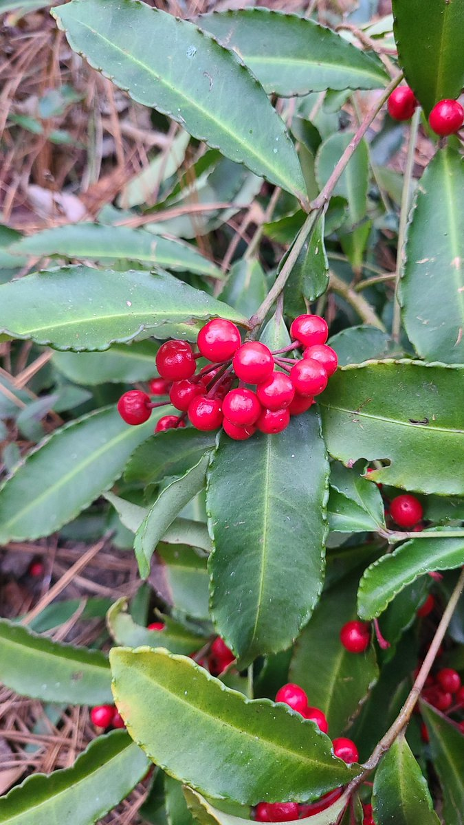 No idea what this #plant on our #hike might be but the berries are way too beautiful not to be #poisonous