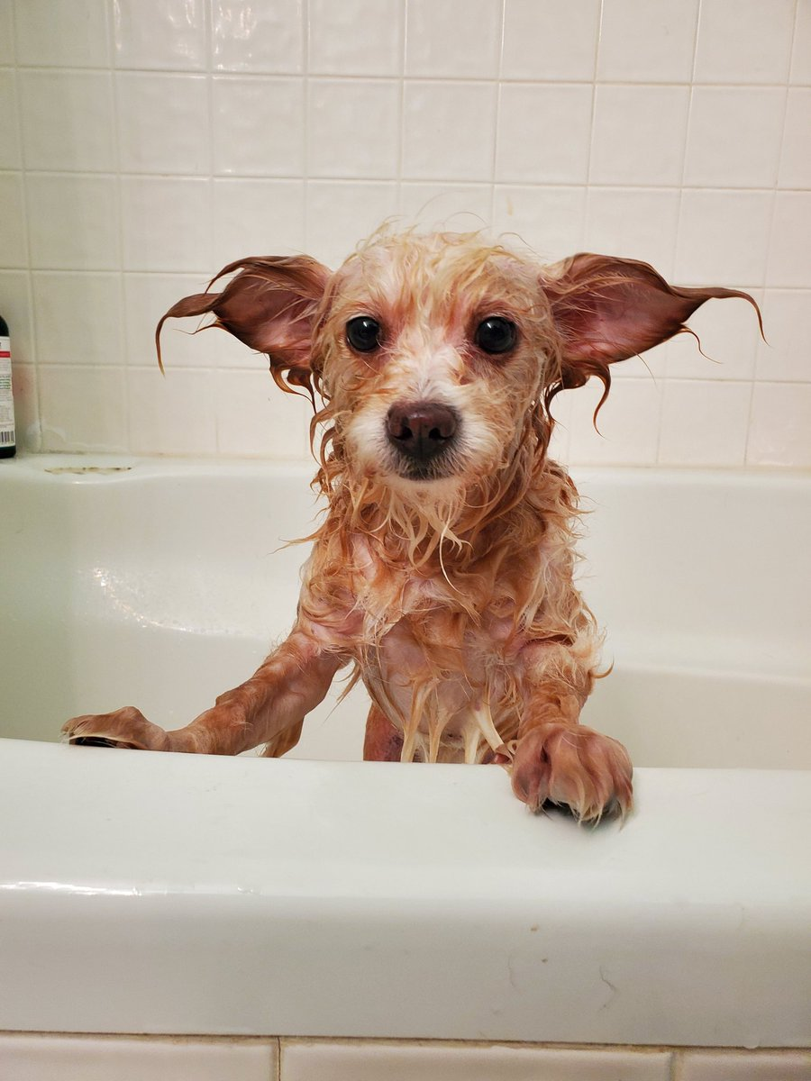 @Joe_Gatto we need rescue dogs bath night pics. Gigi just looks thrilled. She is our youngest rescue.  #bathtime #doggiebath #gigilovesit #dogs #funny #rescuedogs #AdoptDontShop