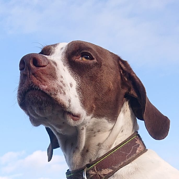 #おはようございます🌞 #イマソラ #今空 #Sky #青空 #BlueSky #晴天 #今日も元気に頑張ろう  #イングリッシュポインター #Gentle #ジェント #2才 #EnglishPointer #dog #イッヌ #Daliy #family #Doglover #GoodDog #LoveDog #きゅんです #モデル犬 #犬バカ部 #犬  #大型犬 #大型犬のいる生活