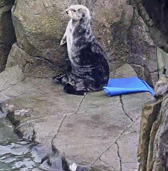 I love her #Katmai  @vanaqua  #seaotters #Vancouver #Otters #Queen  #beauty #LogisticsExpert