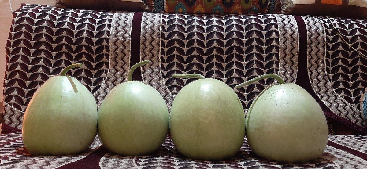 more vegetables from my home garden 🥰  🌿BOTTLE GOURD 🌿 ((GHAR KI KHETI)) 🌱 ((LAUKI)) #GreenIndiaChallenge #greenery #greenhousegardening #gardening #gardenlife #positivitychallenge #PositiveVibes #agriculture #desi #bottlegourd