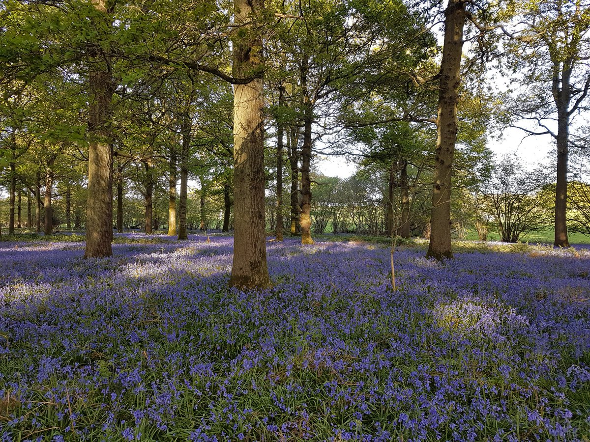 #Bluebells and foxgloves have a long tradition with fairy #folklore. Pick a bluebell and #fairy #enchantment will lead you to wander forever. Foxgloves are also known as #goblin gloves, dead men's bells and #witches' gloves #FairyTaleTuesday #flowers #nature