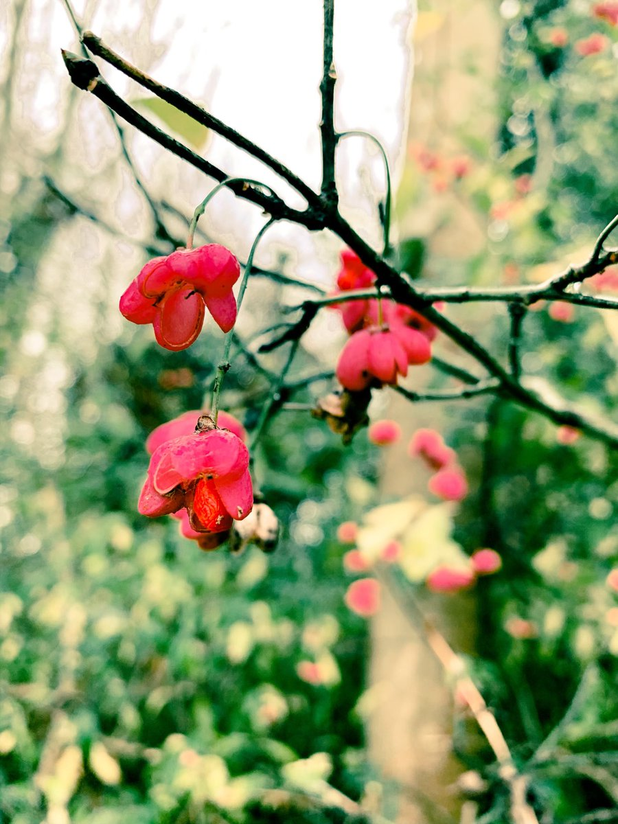 ❤️💚NATURES LOVE LANGUAGE💚❤️ Red flowers in nature symbolise true love & passion. They also brighten up the winter woodland & our day! Happy Tuesday 🙏🏽❤️✨🌳#valentines #flowers #red #natures #spell #love #symbolism #lovelanguage