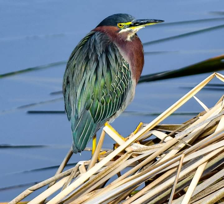 Visit a wetland and carefully scan the banks looking for a small, hunch-backed bird with a long, straight bill staring intently at the water. Martha Huard photographed this beautiful Green Heron, in Venice Rookery, Florida. #PhotoOfTheDay