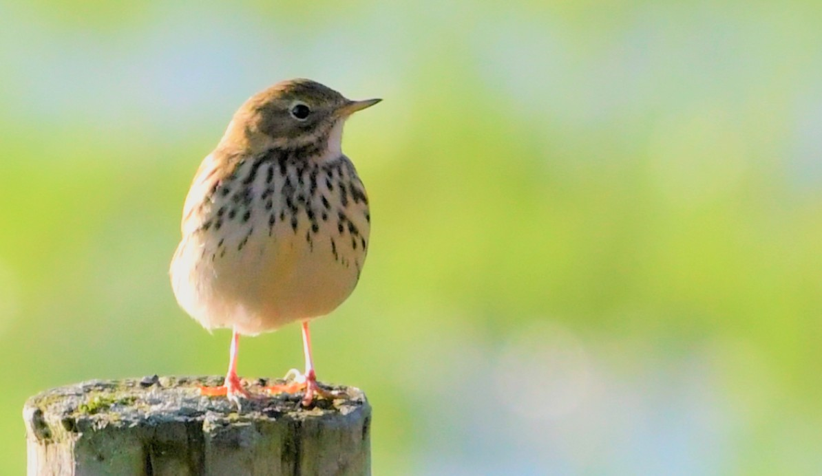 Meadow Pipit and a post https://t.co/nX373j9Pj9
