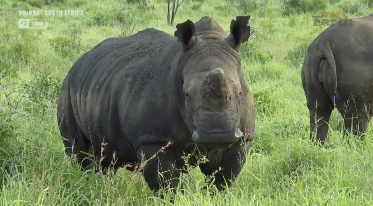 Always awesome to see the #rhino on #Phinda with #wildearth