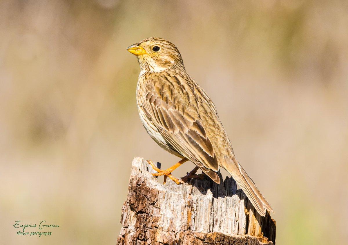 Escribano triguero . Corn bunting . Grauwe gors . ( Emberiza calandra )  El Taray . Toledo  #nature #NaturePhotography #naturelover #birds #birdphotography #birdwatching #wildlife #wildlifephotography