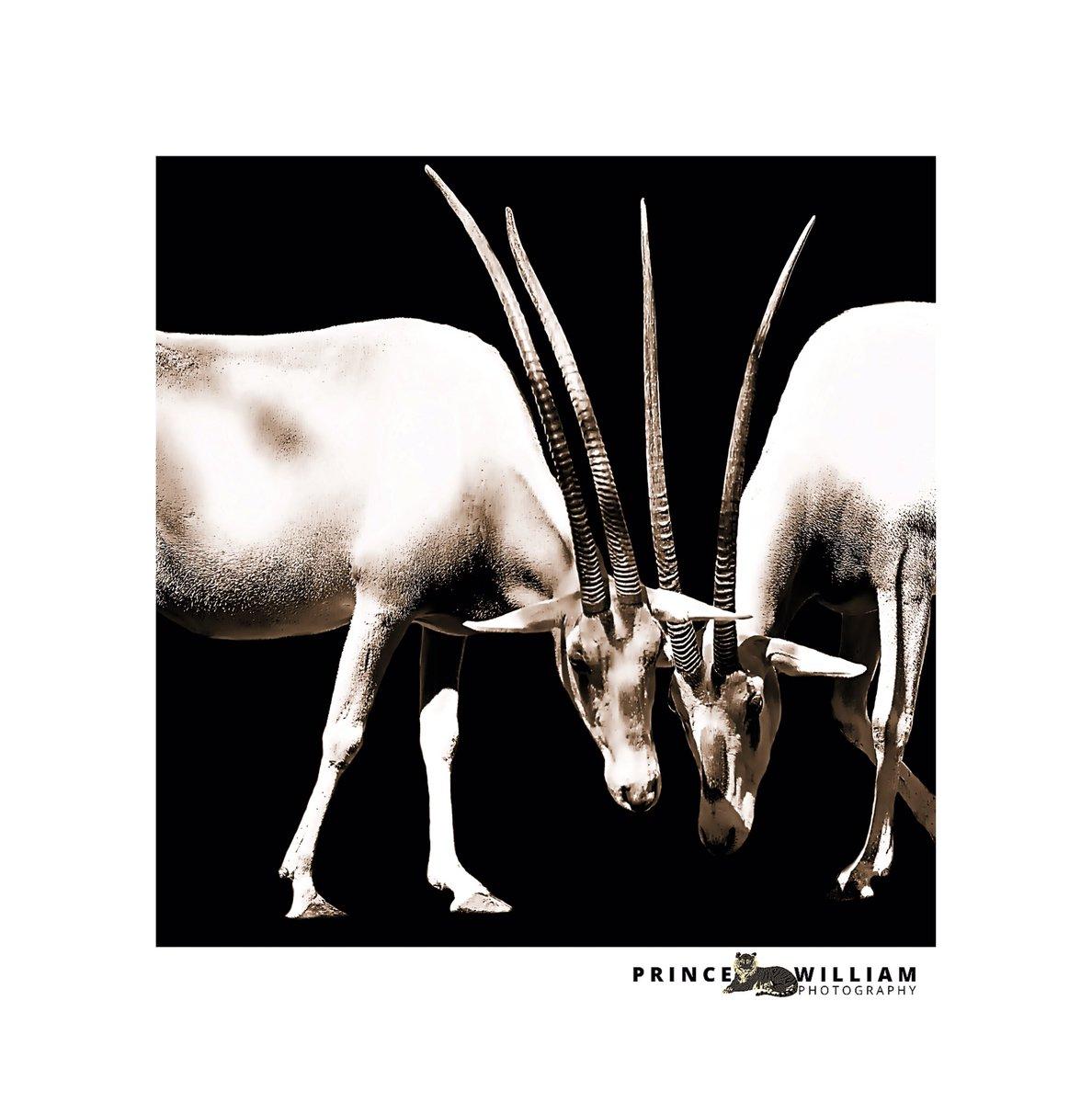 Meeting brother #naturephotos #wildlifephotography #wildnature #photoshoot #toulouse #safari #france #photography #siberiantiger #animallover #animal #savetigers #respectanimals #photooftheday #safari #canon1dxmarkii #canonphotography #canonportrait #canonwildlifephotography