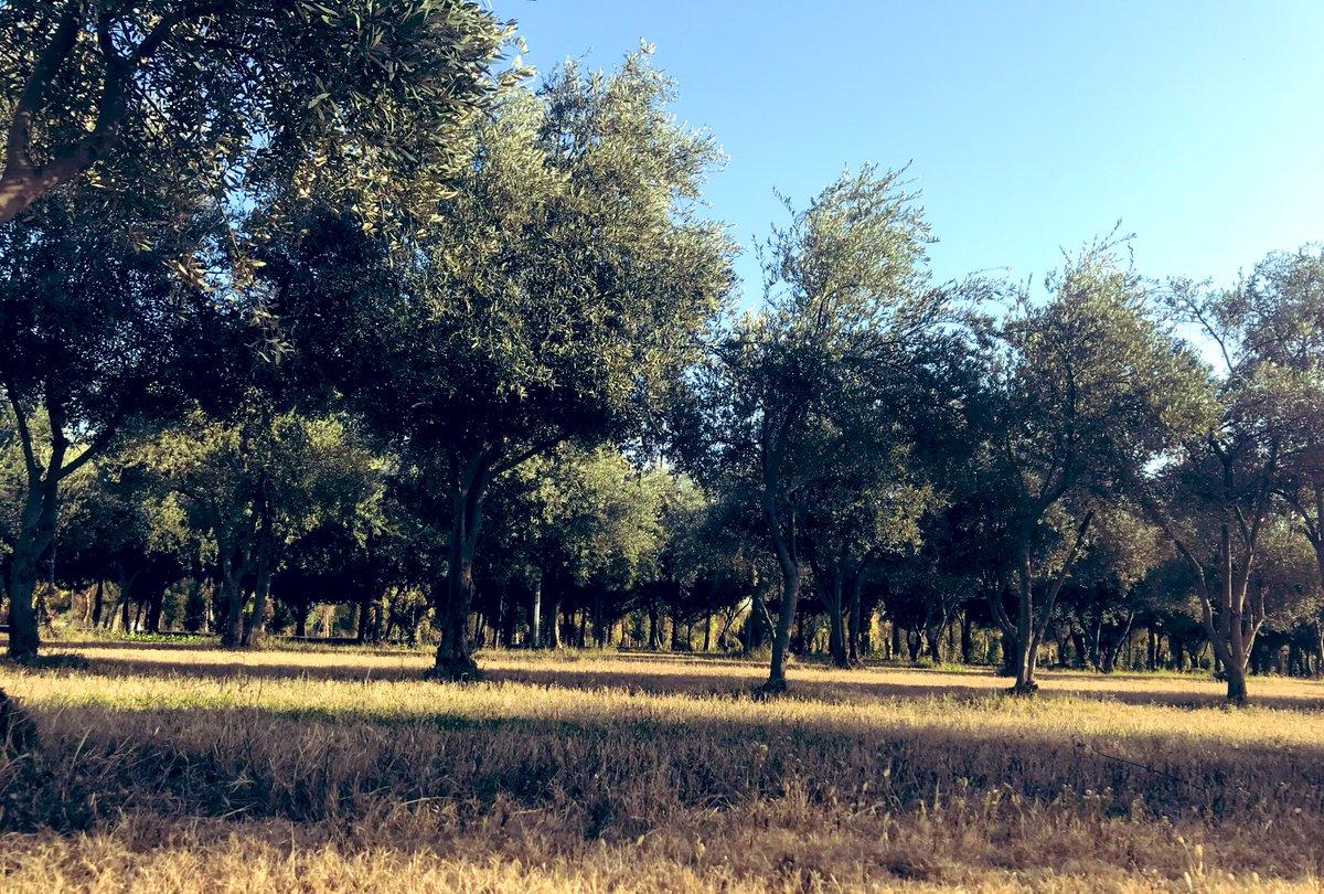The olive trees of Sami Park, Erbil #Kurdistan #nature