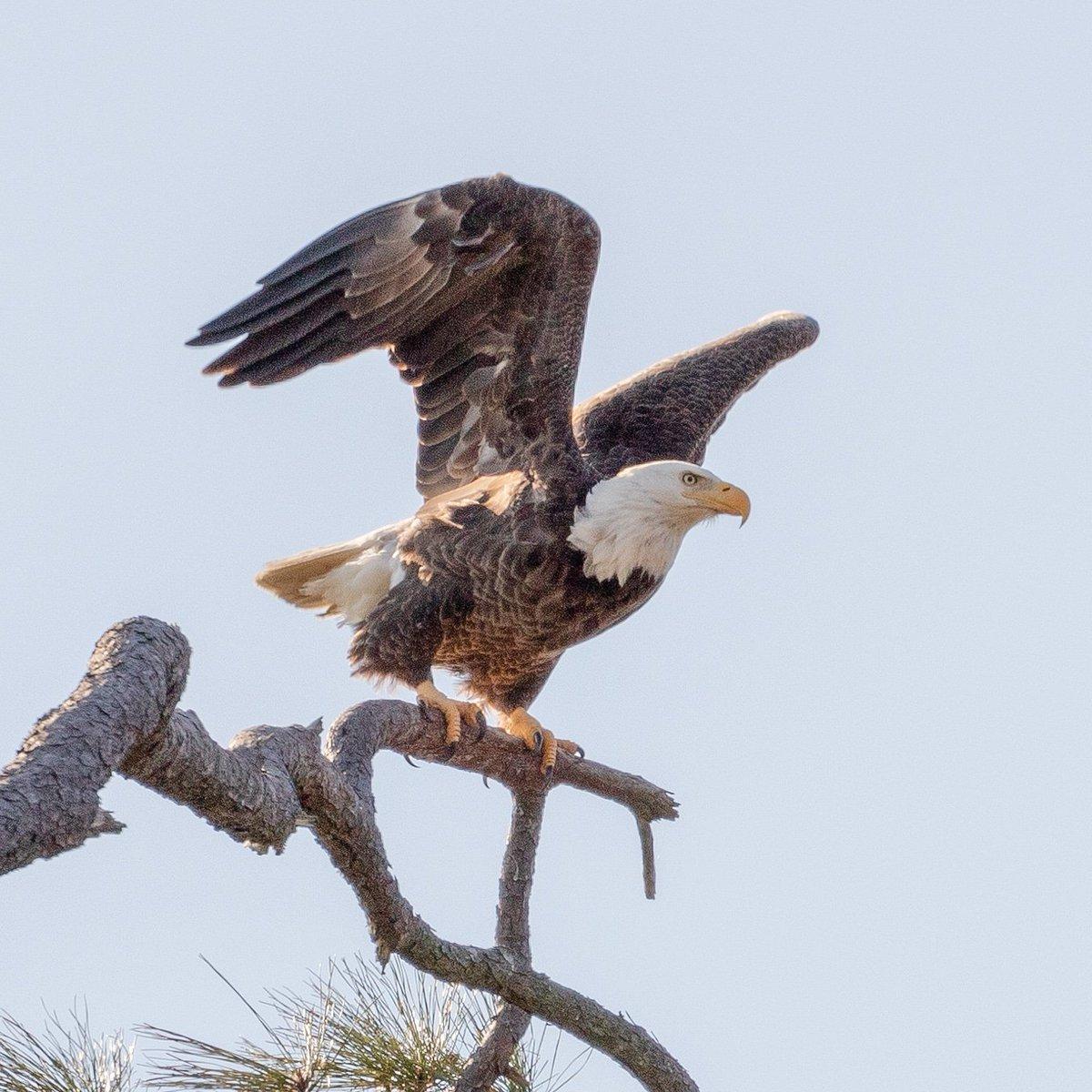 Finally a good shot of a bald eagle - Virginia Beach  #birdphotography #bird #photography #wildlife #baldeagle