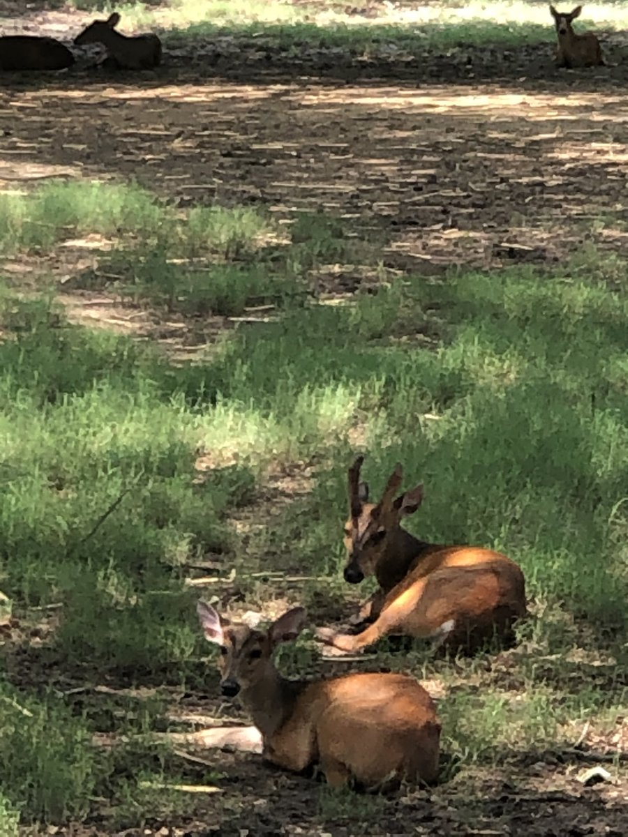 Kakad (Barking deer) and Padha (Hog deer) are two important species of deers found in Terai landscapes. Barking deer are also called Indian muntjac are widely distributed in peninsular India as well. #deer #wildlife