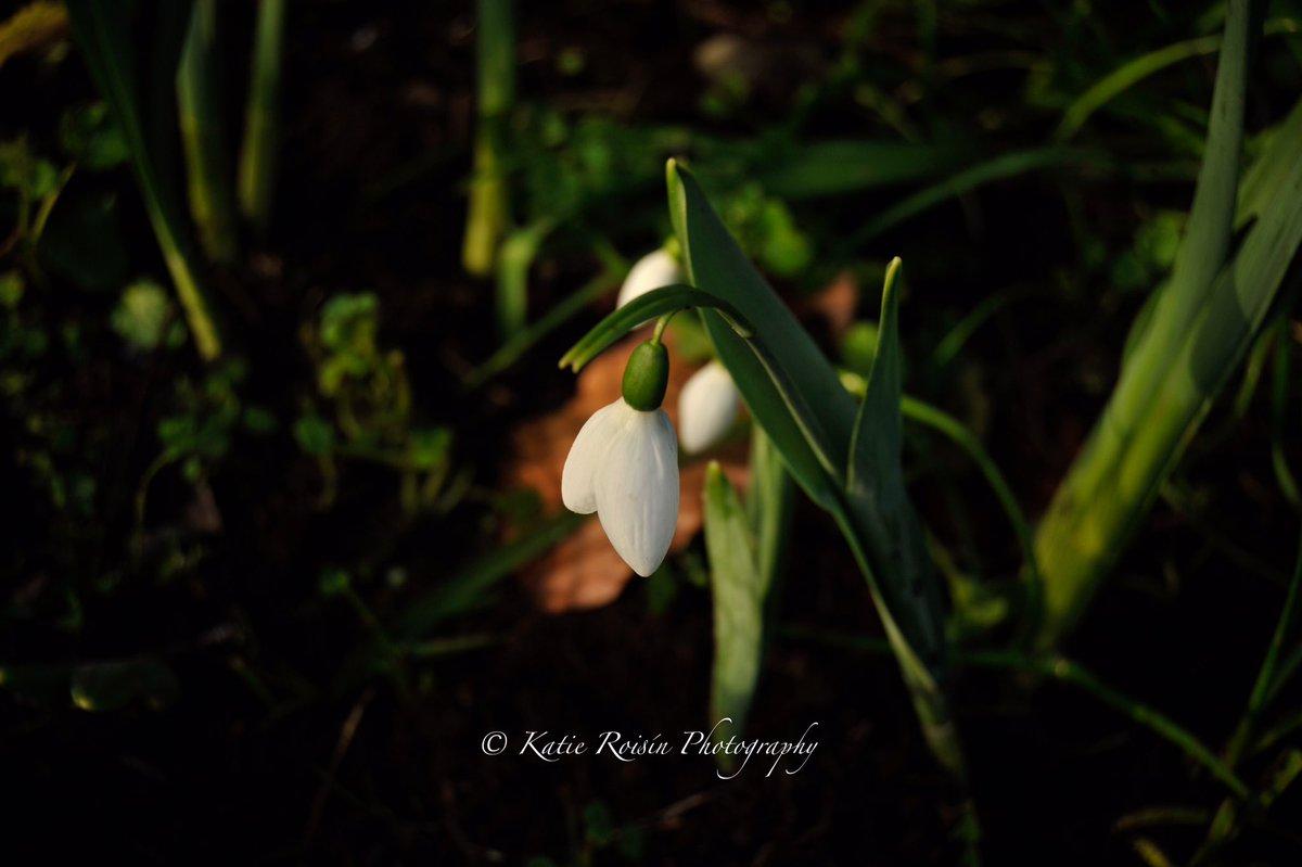 #snowdrop #in #my #garden #taken #on #nikond3 #camera