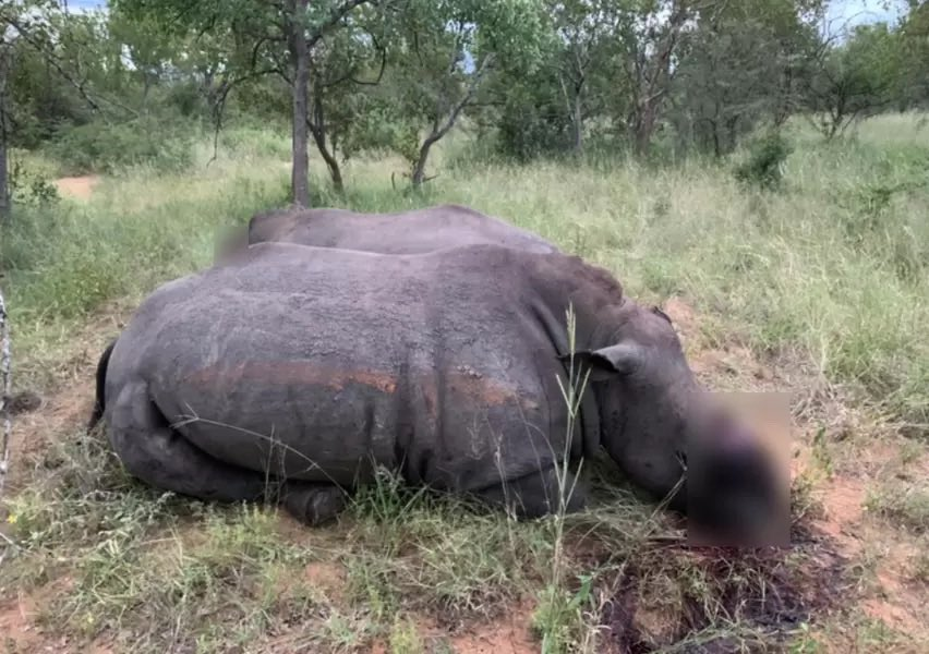 South Africa 3 rhinos killed in two separate incidents in Lephalale, Gravelotte. And the senseless rhino slaughter continues, all for lumps of keratin. 😔 WARNING GRAPHIC PHOTOS  Read 👇