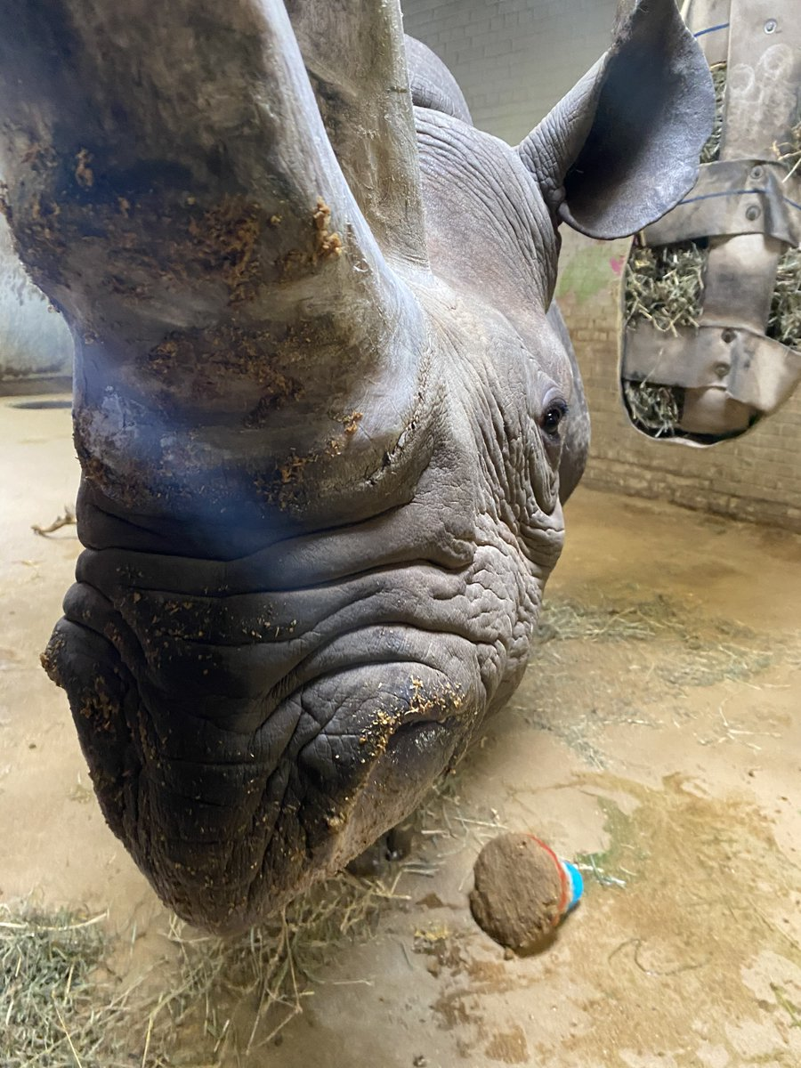 🎉 Happy 20th Birthday to our eastern black #rhino, Timu! The keepers celebrated with some decorations and a special treat for her!