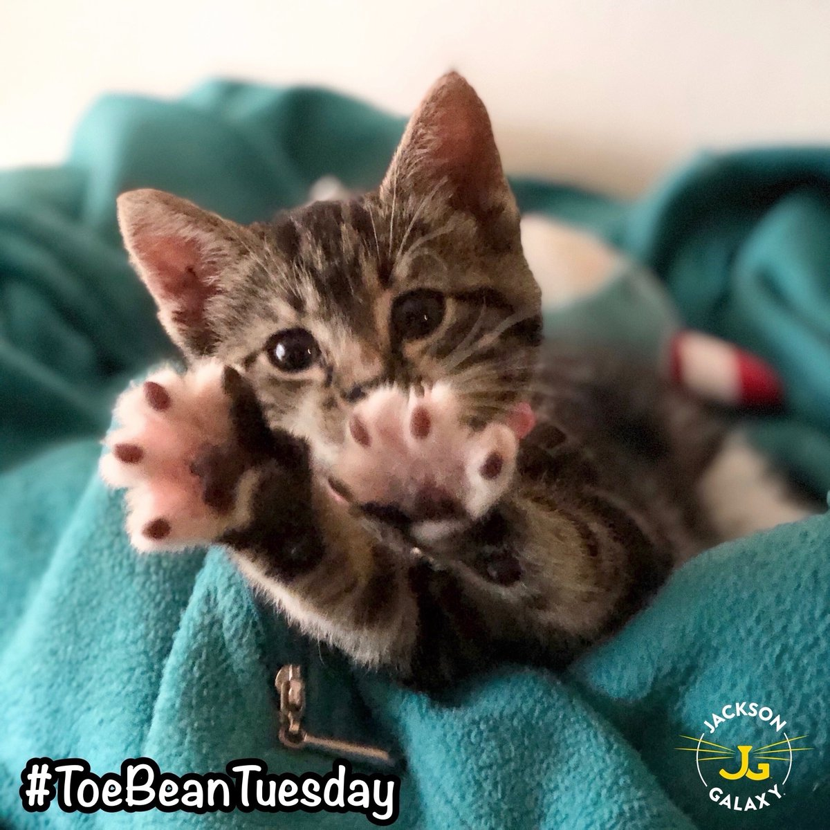 If you're happy and you know it, raise your beans!  ...Compliments of the adorable Pepita Tacocat the Tabby (@pepita_tacocat) and her human, #teamcatmojo's Lori Cooper (@loricooper8).    #ToeBeanTuesday  #TabbyTuesday  #CelebrateCats