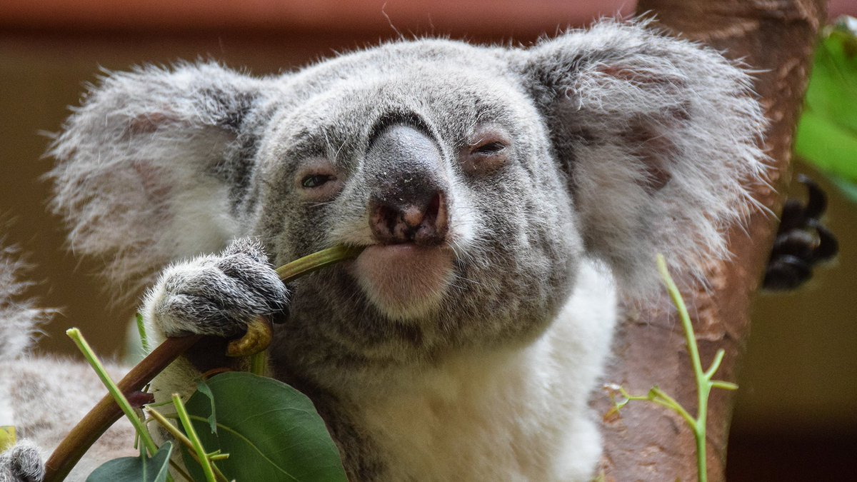 ♪ Lipstick On Your Koala ♪ #AussieSongsOrBands