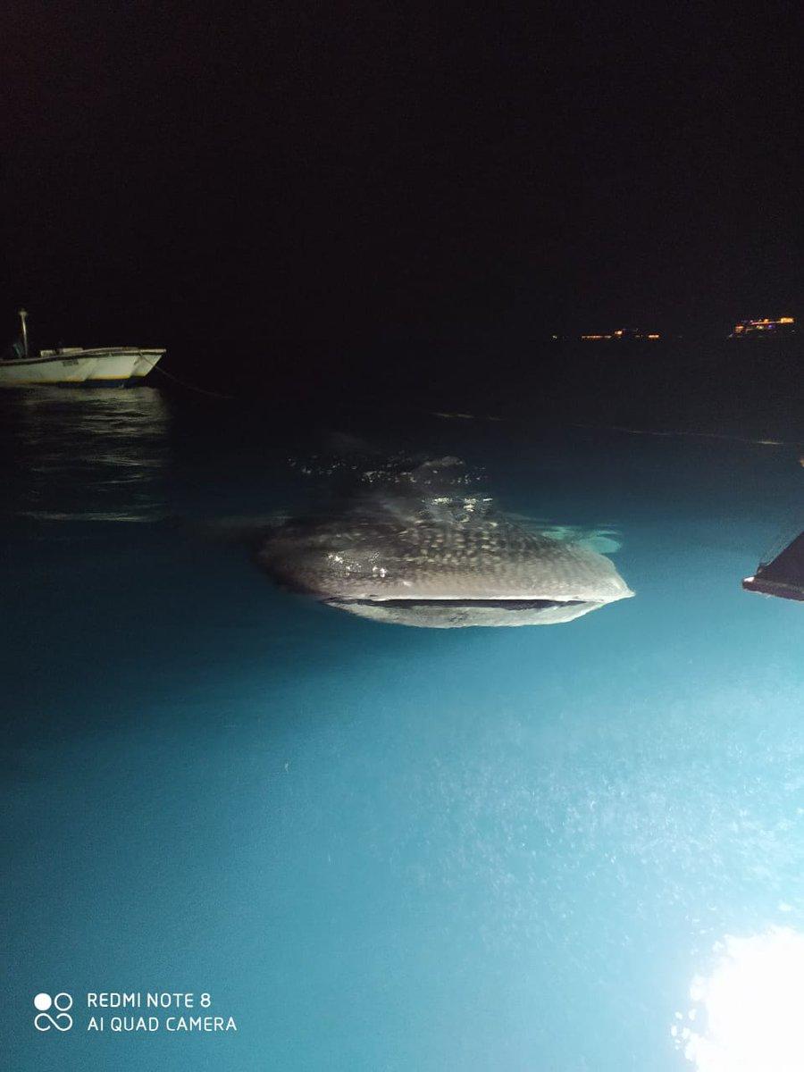 Whale shark at the liveaboard tonight. Magical Maldives, indeed!  📷: Anindya Mukerjee, @goa_aquatics  . . . #Maldives #liveaboard #whalesharks #whaleshark #nightdive #nightphotography #photooftheday