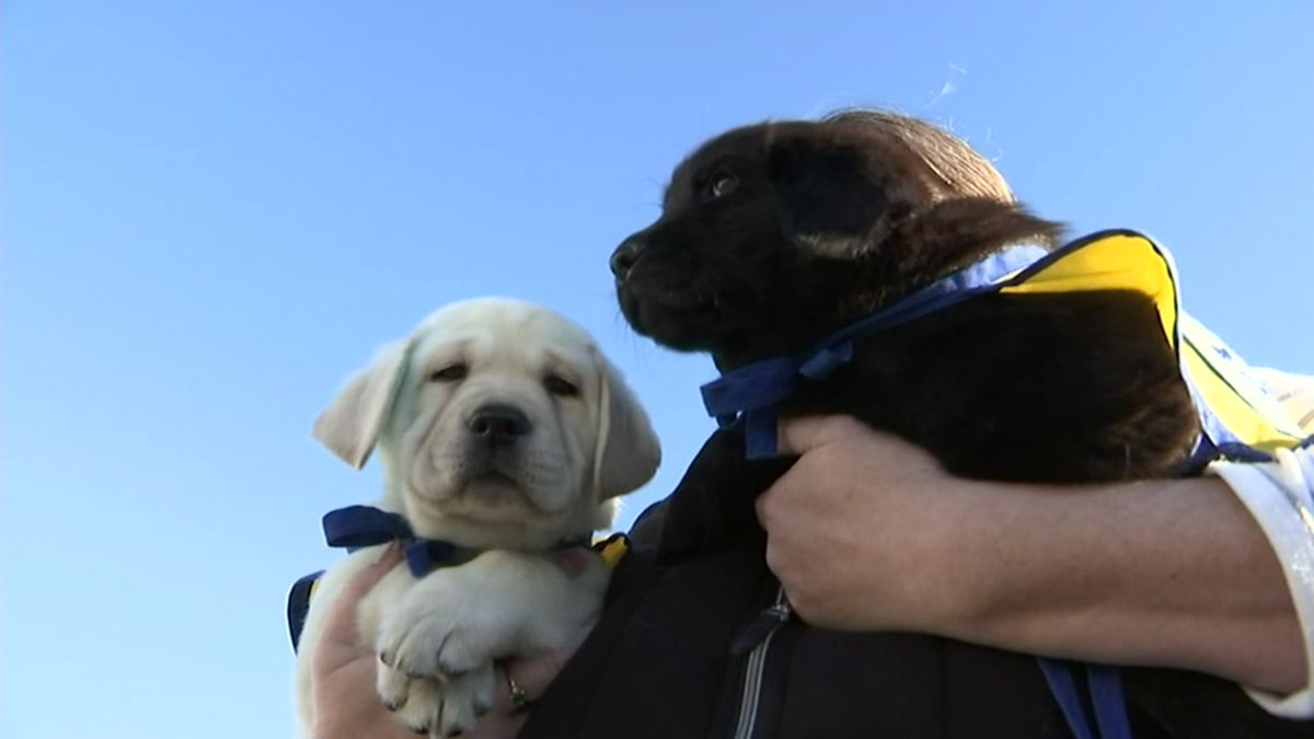 These puppies in training to become service dogs are traveling to Ohio with the help of a Santa Rosa pilot, despite pandemic challenges.