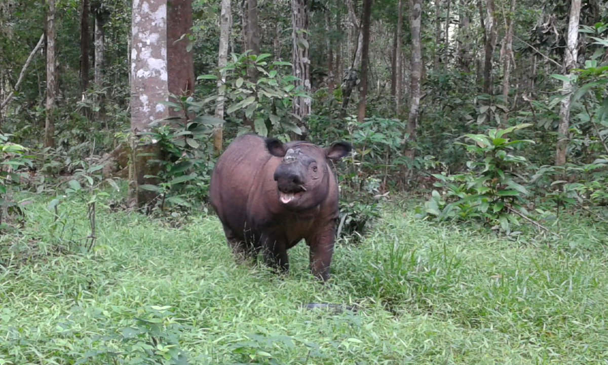 Photo of the Day: A smile for your afternoon from the Sumatran Rhino Sanctuary #tuesdayvibe #TonguesOutTuesday