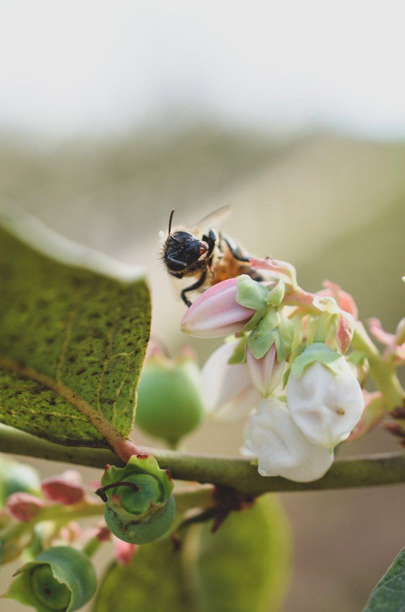 Healthy plants, happy bees. 🐝🌿  #organic #regenerative #gardening #farm #blueberries #cannabis #macro #photography