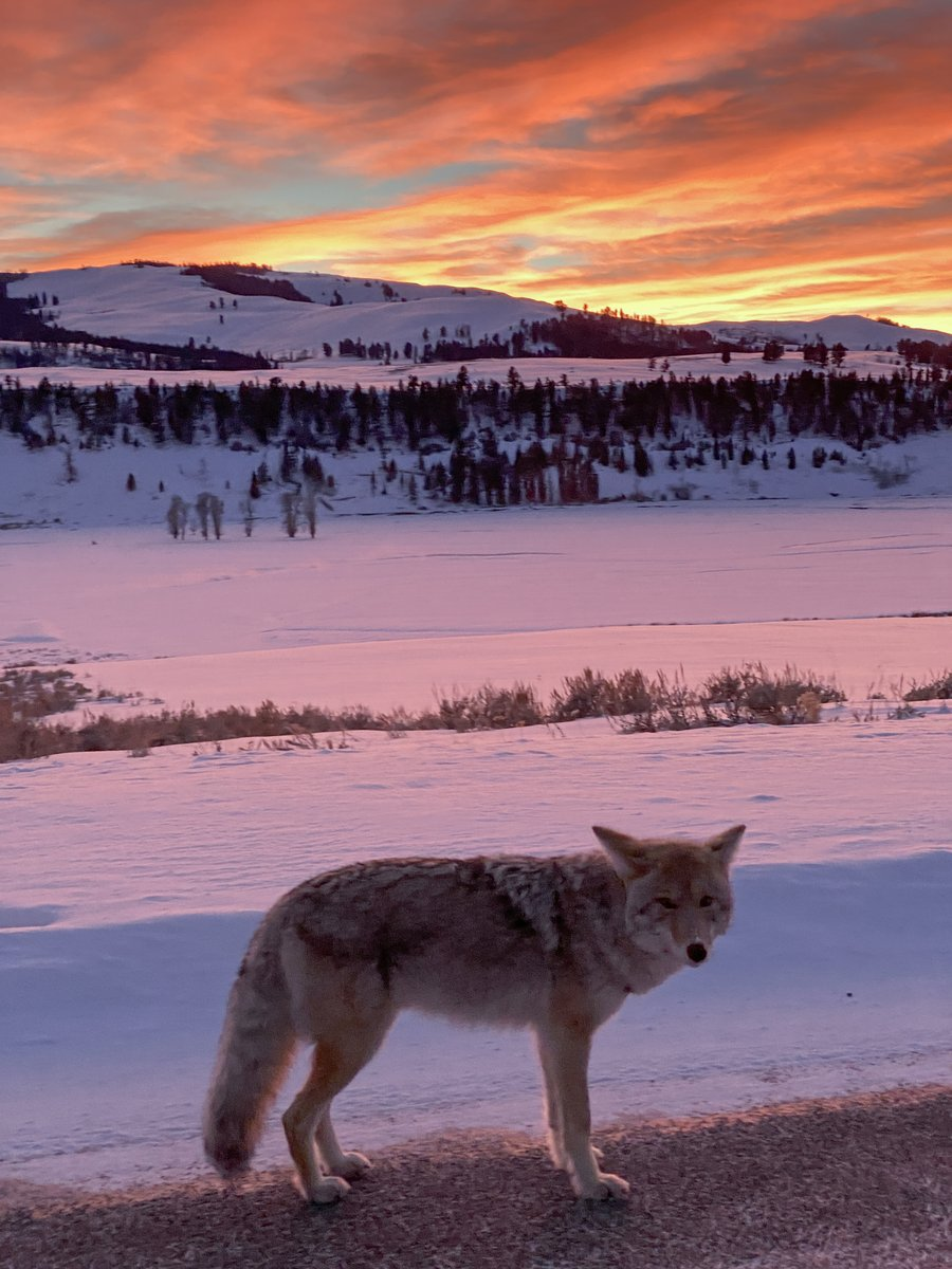 #Yellowstone is another world in the #winter. Beautiful place! I spent the day driving/hiking around to find nature and wildlife to photograph. I managed to catch a little bit of both in this composition: a beautiful #sunset and a #coyote. #wildlifephotography #naturephotography