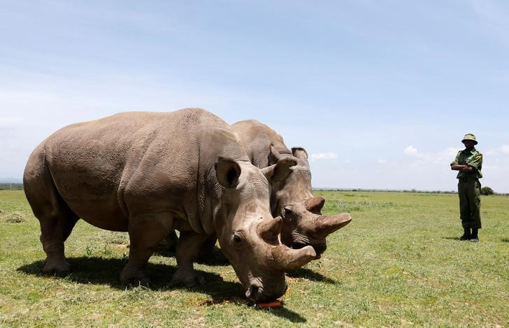 Scientists produce #embryos in race to save northern white #Rhino from extinction  #Conservation