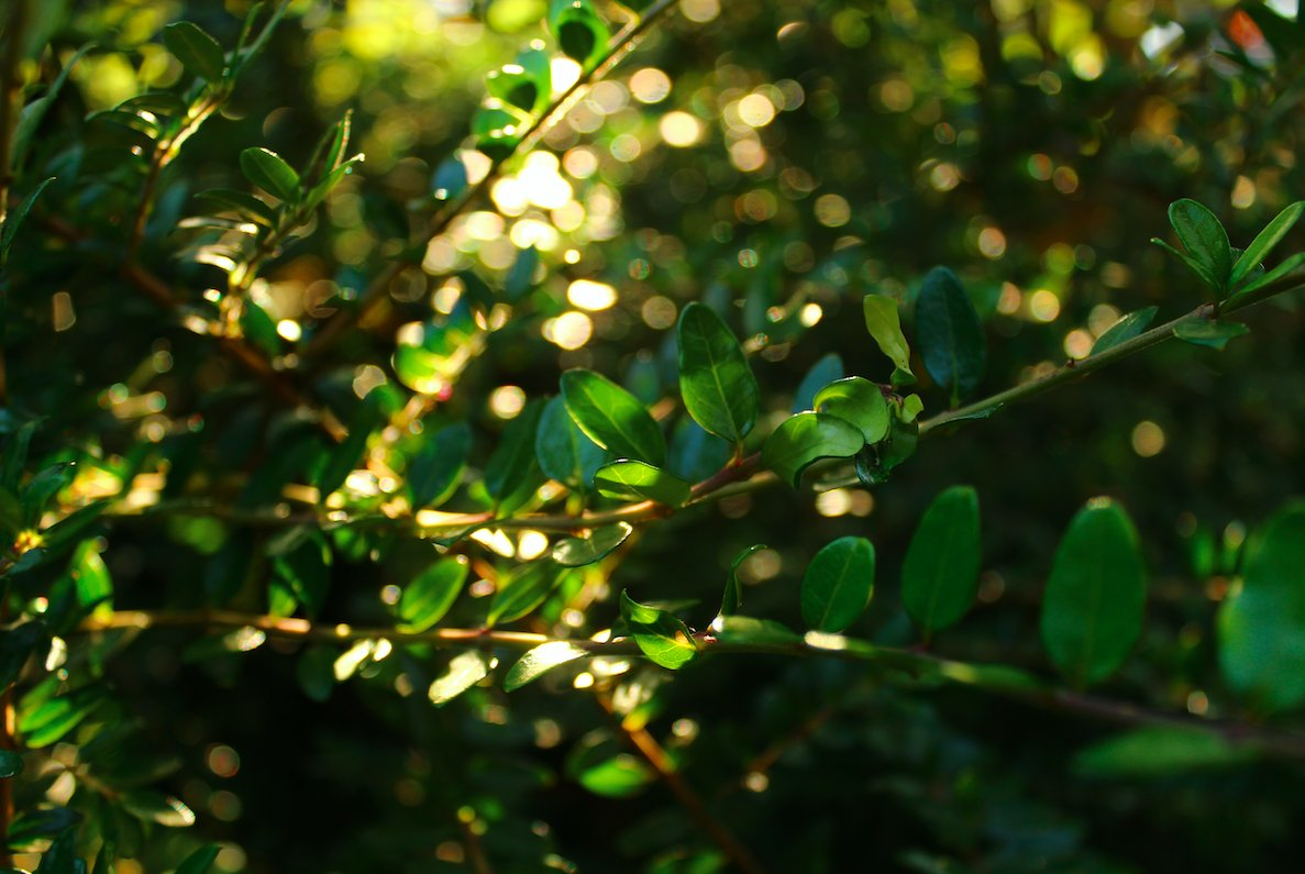 Small green leaves twinkling at sunset  #NaturePhotography #nature #leaves