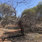 Disgraceful: Western Australian government sanctions ongoing overexploitation of wild Sandalwood. https://t.co/X5ocCTvAp1 Santalum spicatum is going extinct in the wild. The industry should transition to plantations now.  cc @ChrisTallentire @Davekellymp @DawsoMLC