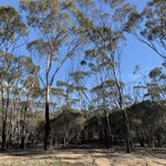 Did you know, the Kondinin Blackbutt over Meleleuca is one of over 70 Eucalypt Woodland sub-communities that can be protected through our Where the Wild Things Are project? This sub-community can be found in Lakeland Nature Reserve, Pingrup. #NLP https://t.co/dfM7xHsSV9