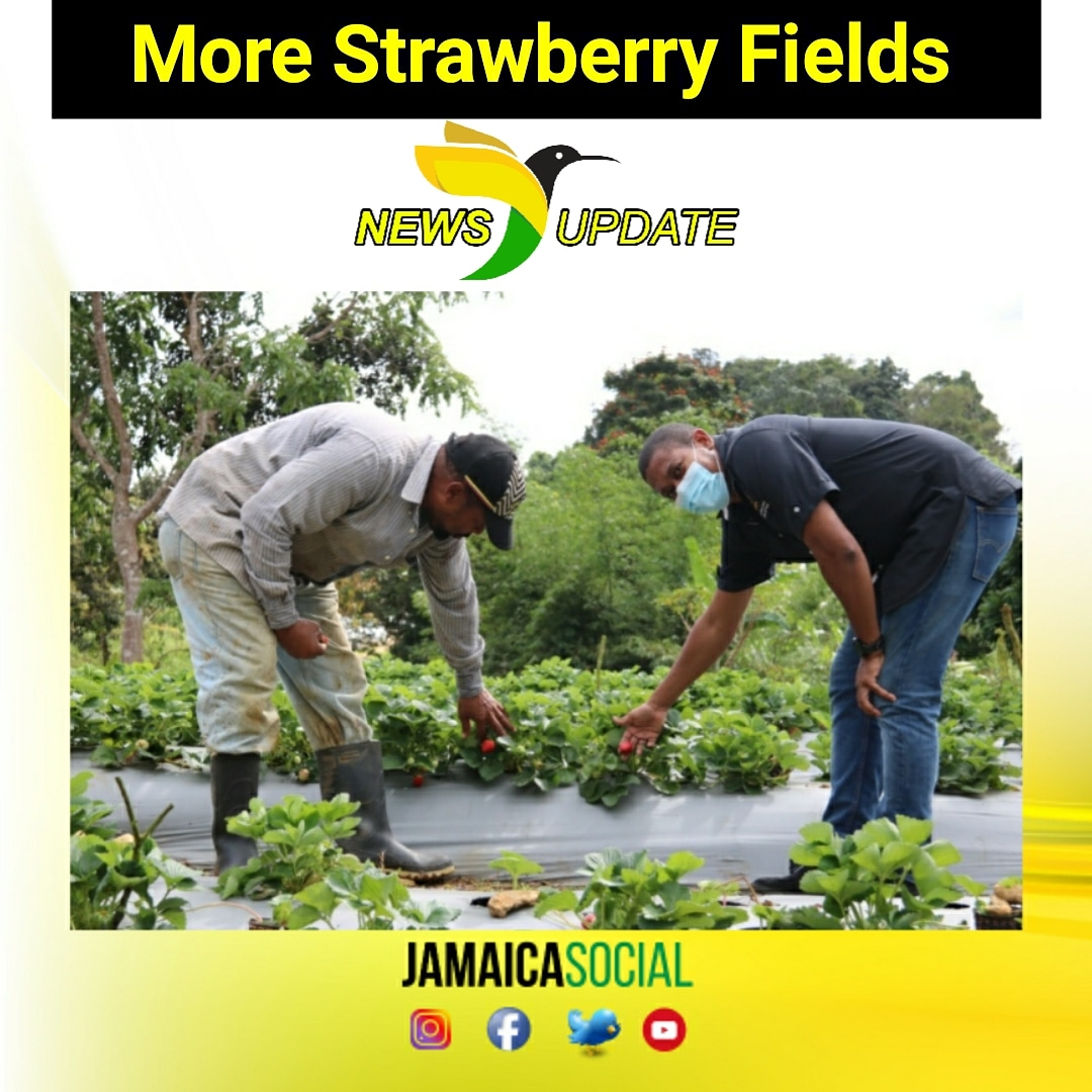 #NewsUPDATE: The potential for Strawberries to become a major crop in Jamaica could be a reality if the @moafjm has its way.   Farmers in South Trelawny are being  encouraged to intercrop yam with the cultivation of strawberries...