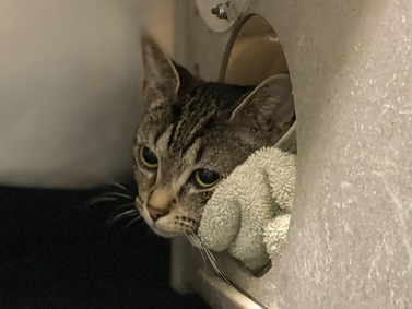 Grace is a young gal who was brought in as a stray from the Bronx. She is hoping to meet a new furever friend. Come get her at MACC.