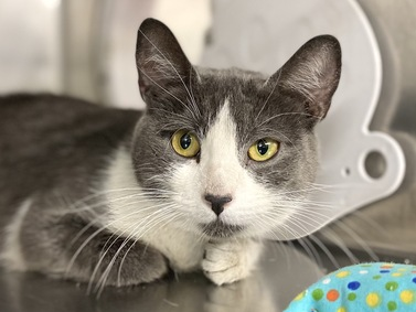 Aden is a quiet gal with beautiful eyes! She was abandoned in an apartment and the neighbors had been feeding her until she was brought to the shelter. Aden is healthy and hoping to meet a furever friend who will take her home. Come meet her at MACC.