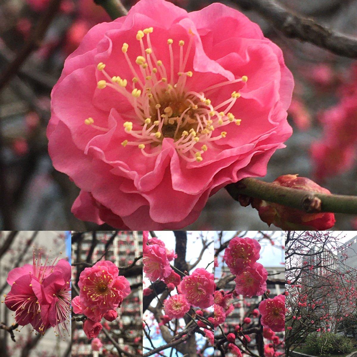 2021.1.27こんにちは😃昼休みに会社の近くの中庭で、寒紅梅ちゃんを眺めてます💐 梅のほのかな香りがします。午後からも仕事頑張りましょう♪ #花が好き #花が好きな人と繋がりたい #花がある暮らし #flowers #flower #花 #ピンクの花 #pinkflowers #pinkflower #pretty  #梅 #梅の花 #寒紅梅
