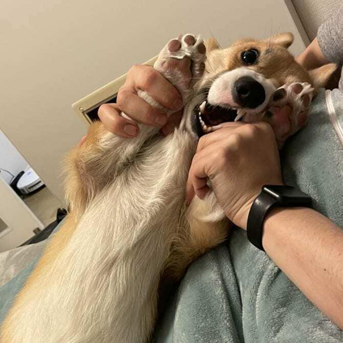 飼い主と戯れてる時のプッチの顔よ🐶🤣 #コーギー #コーギーのいる暮らし #コーギー子犬 #プッチーニ #プッチ #犬 #corgi #dog #Puccini