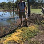 Congratulations to Chris and Gloria Rover for receiving a Grassroots Grant from the Murraylands and Riverland Landscape Board to support their important work to controlling golden dodder weed on Paringa Island Wetland in the Riverland.